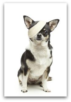 Injured chihuahua dog with bandages on white background